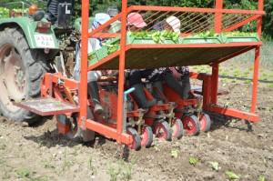 plantation de la salade