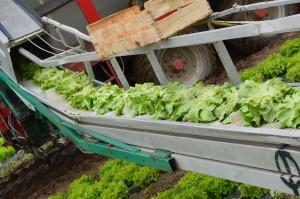 Récolte de la salade d'été