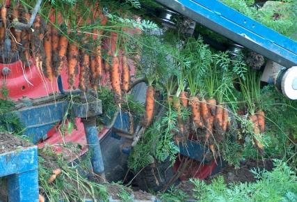 L'arrachage des carottes