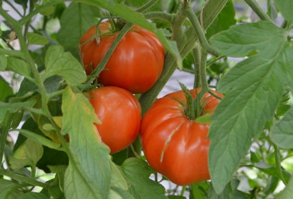 La tomate «chaire»