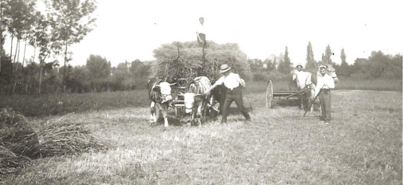 Récolte de foin dans les prés humides du bord du rhin années 1925-1930